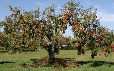The oldest apple tree in the Borough?